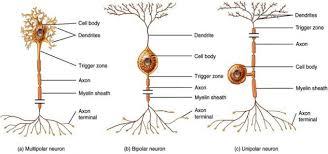 12 2 Nervous Tissue Anatomy Physiology