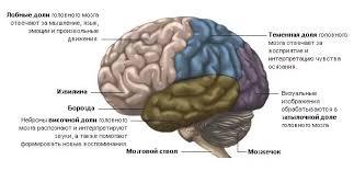 Головной мозг строение и функции описание отделов  Лобные доли мозга
