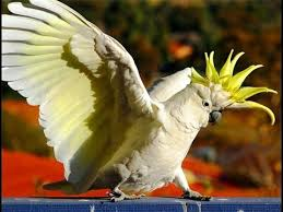 <b>Попугай</b> какаду: особенности содержания и ухода - YouTube