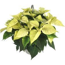 Weihnachtsstern Ampel Weiß Topf ø Ca 21 Cm Euphorbia