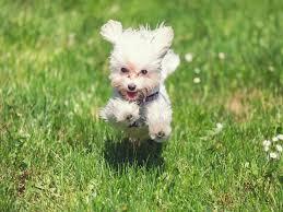 50 best hypoallergenic dog breeds