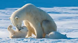 Polar Bear Facts & Conservation - Polar Bears International