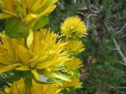 Gentiana lutea subsp. symphyandra - Wikispecies
