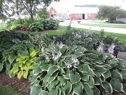 Small Picture Hostas for Zone 4 Northern Gardens Favorite Perennials