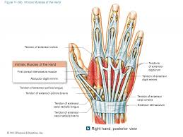 finger anatomy. extensor muscles of fingers finger tendon anatomy \u2013 human lesson