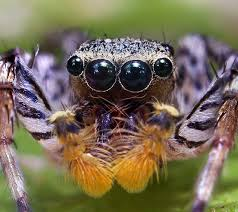 spiders have how many eyes