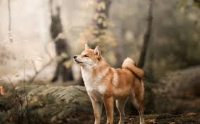 shibe wallpaper. Wonderful Wallpaper Shiba Inu Confident Dog Outdoor 3840x2400 Wallpaper Throughout Shibe Wallpaper