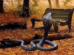 indian king cobra snake wallpaper 566874