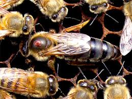 Strathcona Beekeepers Bio Control Of Varroa Mites