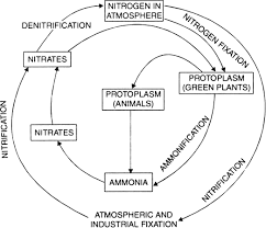 Briefly Describe The Nitrogen Cycle In The Environment Or