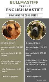 Difference Between Bullmastiff And English Mastiff