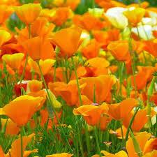 Image result for california poppy flower