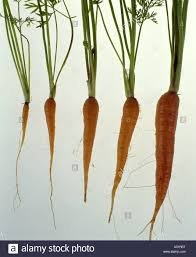 carrot plant stages. Brilliant Stages CARROTS GROWTH STAGES DAUCUS CAROTASWEET ROCKET HYBRID  Stock Image With Carrot Plant Stages