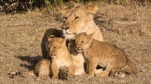 Porini <b>Cheetah</b> Camp: Get a big cat experience in Kenya, <b>Indian style</b>