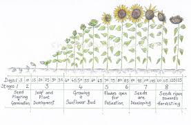 Sunflower Growing Chart Sunflower Growth Timeline And Life Cycle With Chart And