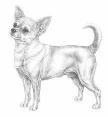 Kleurplaat Chihuahua Coloriage Chihuahua A Imprimer Coloriage