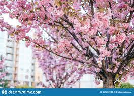 Pink Cherry Sakura Blossom Background Stock Photo Image Of