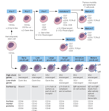 B And T Cell Development Hematology T Cell Medical