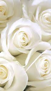 Wallpaper White Rose Pics