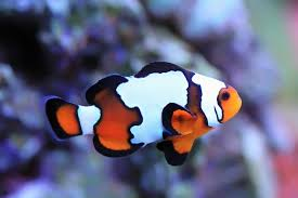 different colored clown fish. Simple Clown And Different Colored Clown Fish O