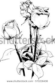 Bouquet Roses Drawn Ink By Hand Stock Vector Royalty Free