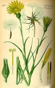 Tragopogon pratensis Goat's Beard PFAF Plant Database