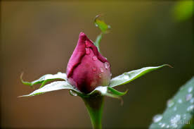 t budding is the most widely accepted method for propagating ornamental rose plants the cambium layer is the growing