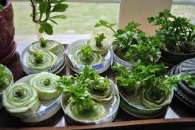 Kitchen Scrap Gardening Stop Trashing Your Scraps 16 Produce Items To Re Grow At Home