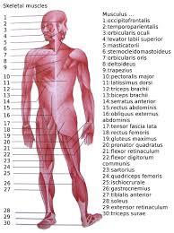 Abundant Basic Muscle Chart Muscle Group Workout Diagram