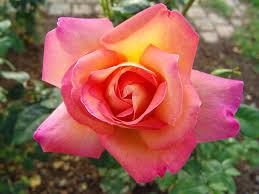 Image result for chicago peace rose