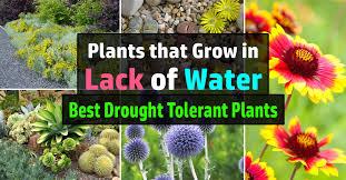 24 best drought tolerant plants that grow in lack of water balcony garden web