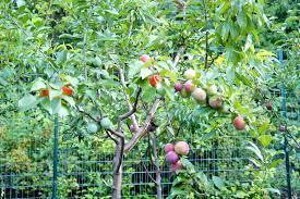 472 Best Fruit Trees Images On Pinterest  Gardening Fruit Trees Fruit Salad Trees Usa