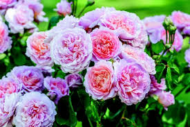Image result for images blooming roses under window
