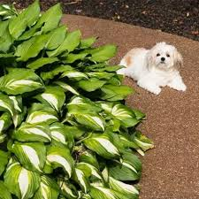 are hostas poisonous to dogs what to