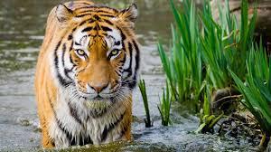 tiger face wallpaper free full hd wallpapers for 1080p desktop