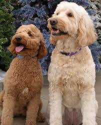 Standard Goldendoodle Size Chart Mini Goldendoodle Vs Mini Labradoodle Which Is Right For