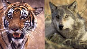 1024 x 683 jpeg 214 кб. Tigers And Wolves The Reigning Cats And Dogs In Conservation The Revelator