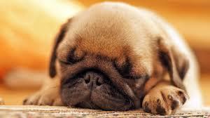 cute baby puppies sleeping. Modren Puppies Cute Pug Puppy Sleeping Throughout Baby Puppies S