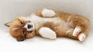 Why buy a corgi puppy for sale if you can adopt and save a life? Hd Wallpaper Puppy Sleeping Orange Pembroke Welsh Corgi Puppy Wallpaper Flare