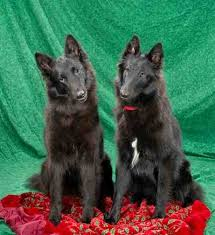 shetara akc belgian sheepdog puppies and s available occasionally for herding conformation performance pet