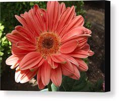 sun tanned gerber daisy canvas print canvas art by lingfai leung on gerber daisy canvas wall art with trademark fine art orange and red gerbers canvas wall art by amy