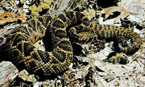 Rattlesnake Snake Britannica