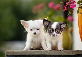 chihuahua dog breeds letsgetpet