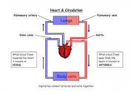 64 Reasonable Fetal Blood Circulation Flow Chart