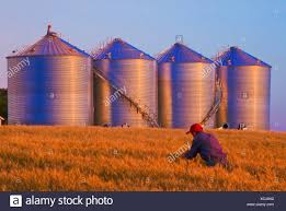 checking bin man checking mature wheat in a field with new grain bins silos in