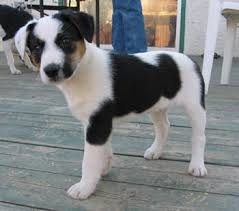 jack russell terrier border collie mix. Simple Terrier Border Collie Jack Russell Terrier Mix  Bing Images For Jack Russell Terrier Border Collie Mix