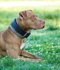 red pitbull terrier puppy. Fine Red Red Nose Pitbull On Red Pitbull Terrier Puppy M
