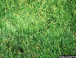 invasive lawn weeds. Perfect Weeds 16 Most Troublesome Lawn WeedsAnnual BluegrassPoa Annua To Invasive Weeds