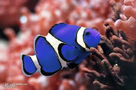 different colored clown fish. Delighful Clown Inside Different Colored Clown Fish
