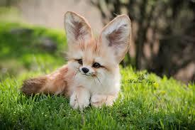 baby fennec fox. Delighful Fennec Baby Fennec Fox  Album On Imgur For E